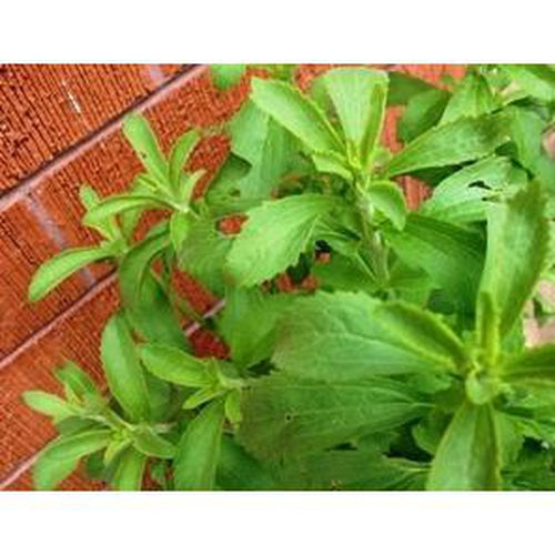 STEVIA /Sugar Plant and natural sugar substitue *FRESH* seeds