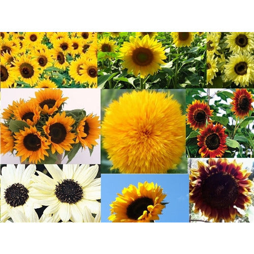 SUNFLOWER 'Mix'