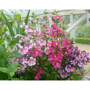 SCHIZANTHUS / POOR MANS ORCHID 'Angel Wings Mix' seeds