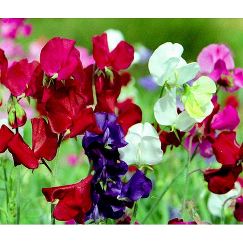 SWEET PEA 'Little Sweetheart Mix' / SUPER DWARF