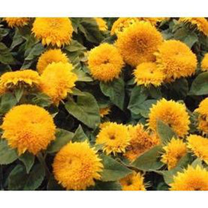 SUNFLOWER 'Teddy Bear' - Boondie Seeds