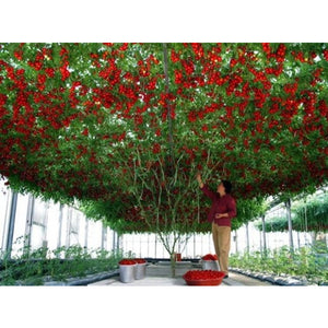TOMATO 'Giant Tree' - Boondie Seeds