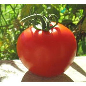 TOMATO 'Super Sioux' - Boondie Seeds