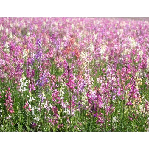 LINARIA /TOADFLAX 'Northern Lights Mix'