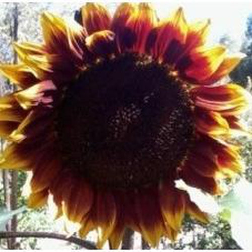 SUNFLOWER 'Royal Velvet'