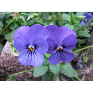 VIOLA 'Blue Perfection' / pansy