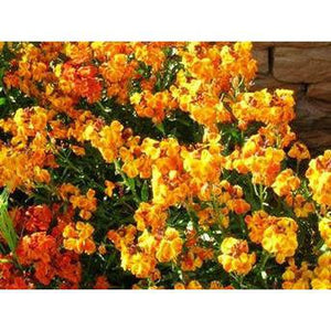 WALLFLOWER 'Single mixed' - Boondie Seeds