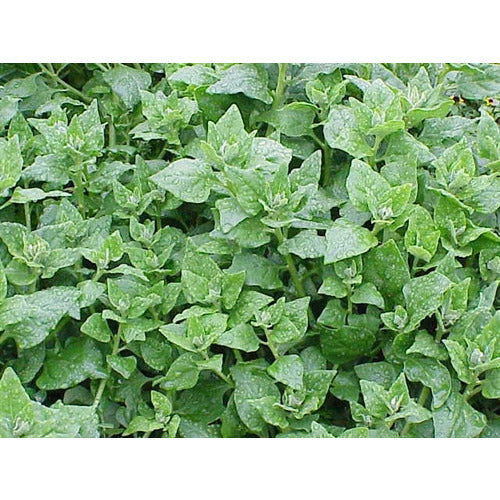 WARRIGAL GREENS 10 seeds New Zealand Spinach NATIVE