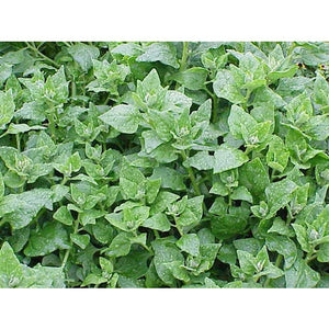 WARRIGAL GREENS / New Zealand Spinach NATIVE - Boondie Seeds
