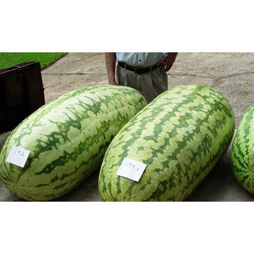 WATERMELON 'Carolina Cross' / Giant Watermelon