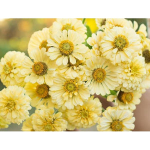 ZINNIA Isabellina (Creamy Yellow) - Boondie Seeds