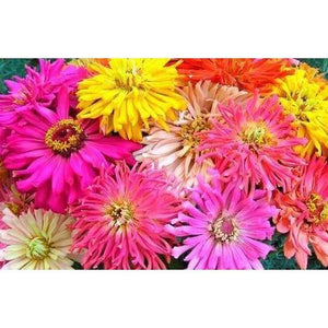 ZINNIA 'BURPEEANA MIXED'