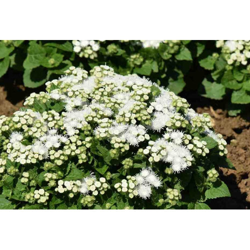 AGERATUM 'White Ball' - Boondie Seeds