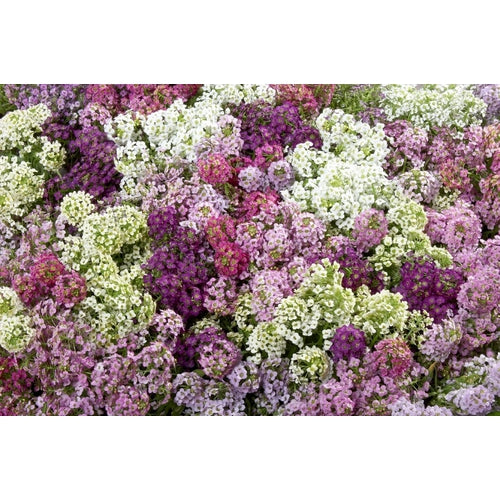 ALYSSUM 'Magic Circles Mix' - Boondie Seeds