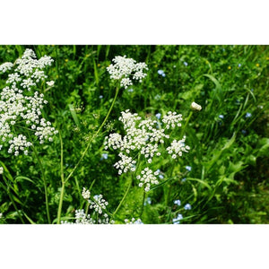 ANISE  / Aniseed / licorice herb - Boondie Seeds