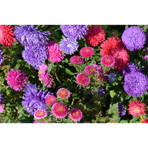 ASTER 'Mix' - Boondie Seeds