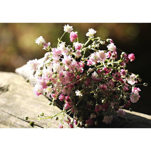 BABY'S BREATH / GYPSOPHILA 'Rose' - Boondie Seeds