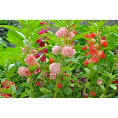 BALSAM 'Camellia Flowered Mix' / Impatiens seeds