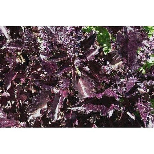 BASIL 'Purple Ruffles' - Boondie Seeds