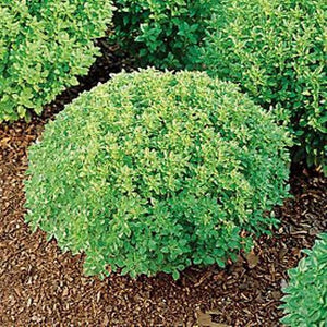 BASIL SEEDS 'Mini Globe' - Wholesale / Gift Pack - Boondie Seeds