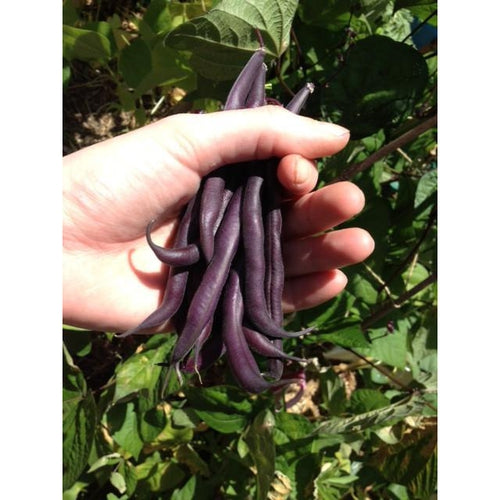 DWARF BEAN Royal Burgundy - Boondie Seeds