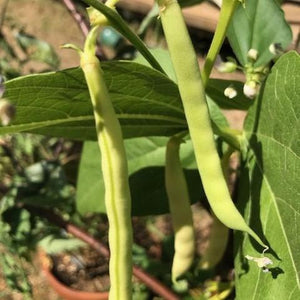 BEAN CLIMBING 'Kentucky Wonder Wax' - Boondie Seeds