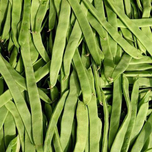 CLIMBING BEAN 'Northeaster' 20 seeds *ORGANIC* - Boondie Seeds