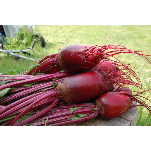BEETROOT 'Cylindra' - Boondie Seeds