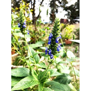 CHIA 'Black Seeded' /Salvia hispanica - Boondie Seeds