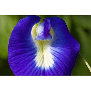 BUTTERFLY PEA / Asian pigeonwings / Darwin Pea - Boondie Seeds