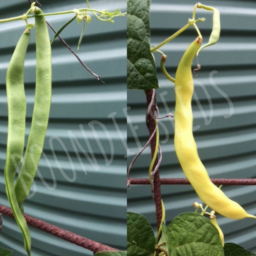CLIMBING BEAN 'Magic Mix' - Boondie Seeds