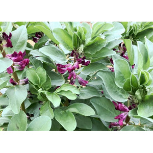 BROAD BEAN 'Crimson' *RARE*