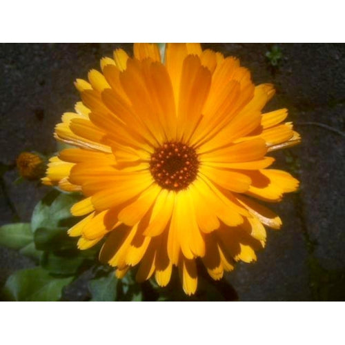 CALENDULA / English Marigold 'Pacific Beauty Mix' - Boondie Seeds