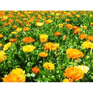 CALENDULA / English Marigold 'Golden' - Boondie Seeds