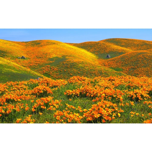 CALIFORNIAN POPPY 'Golden West' - Boondie Seeds
