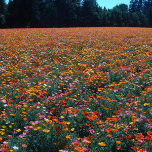 CALIFORNIAN POPPY 'Mission Bells'