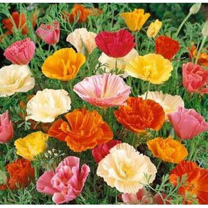 CALIFORNIAN POPPY 'Mission Bells' seeds