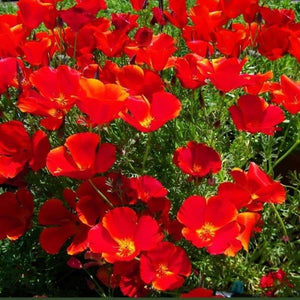 CALIFORNIAN POPPY 'Red Chief' seeds