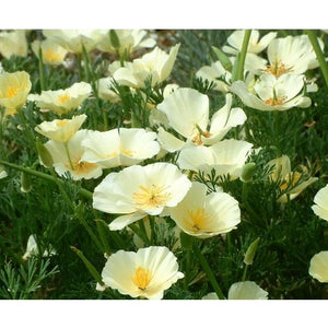 CALIFORNIAN POPPY 'Cream White'