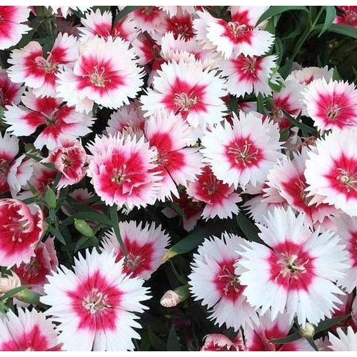 Dianthus / Pinks 'Single Mixed'
