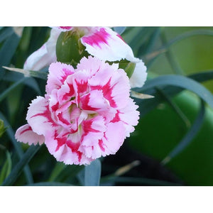 CARNATION 'Enfante de Nice Mix' - Boondie Seeds
