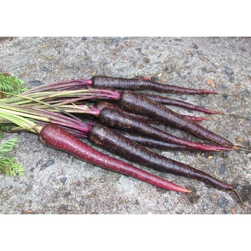 CARROT 'Cosmic Purple' - Boondie Seeds
