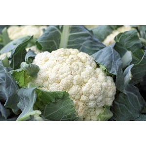 CAULIFLOWER 'Snowball' - Boondie Seeds