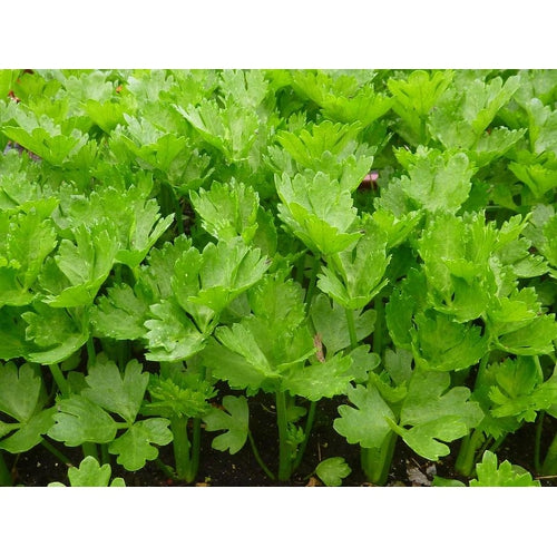 CELERY 'Sprouting Green' - Boondie Seeds