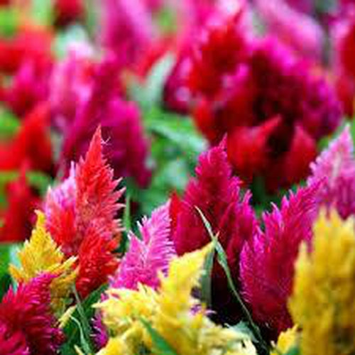 CELOSIA 'Pampas Plumes Mix' / Cockscomb - Boondie Seeds