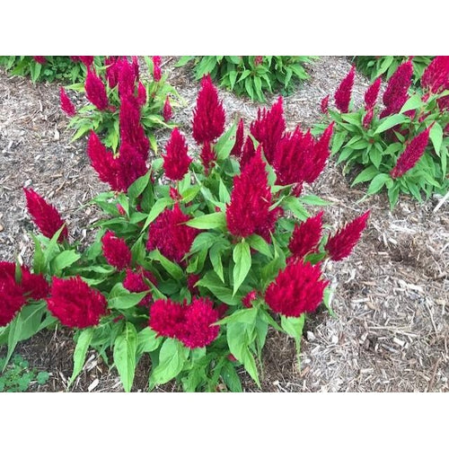 CELOSIA 'Scarlet Plume' / Cockscomb - Boondie Seeds