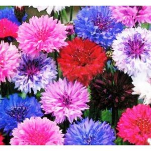 CORNFLOWER Mix - Wholesale Gift Pack - Boondie Seeds