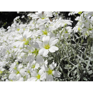 SNOW IN SUMMER 'Silver Carpet' / Cerastium tomentosum seeds