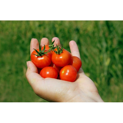 TOMATO 'Tomme Toe' 20 seeds ORGANIC