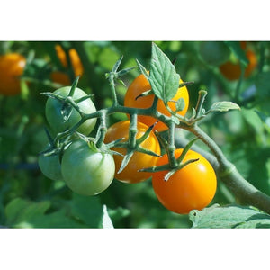 TOMATO Favourites collection 20 Packets - Boondie Seeds